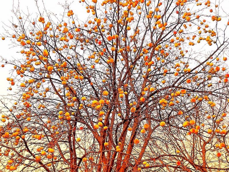 2020-11 - AnnePrescott (Défi) - Pommes de novembre